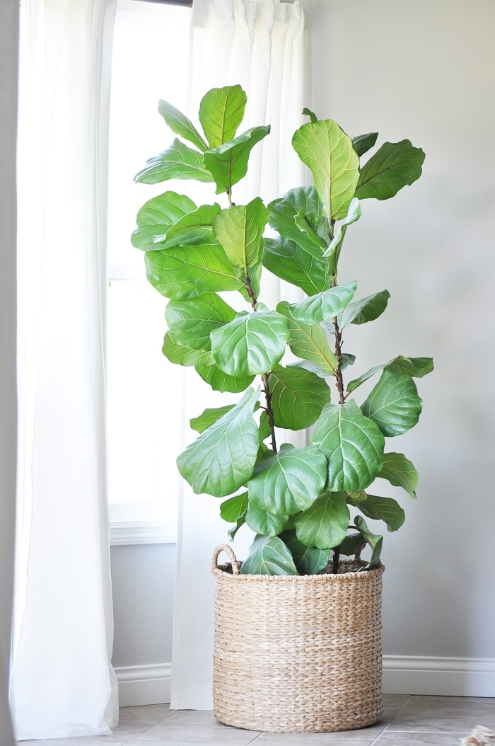 fiddle leaf figtree - Fiddle Leaf Fig Tree