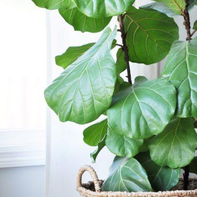 The Tale of the Fiddle Leaf Fig Tree