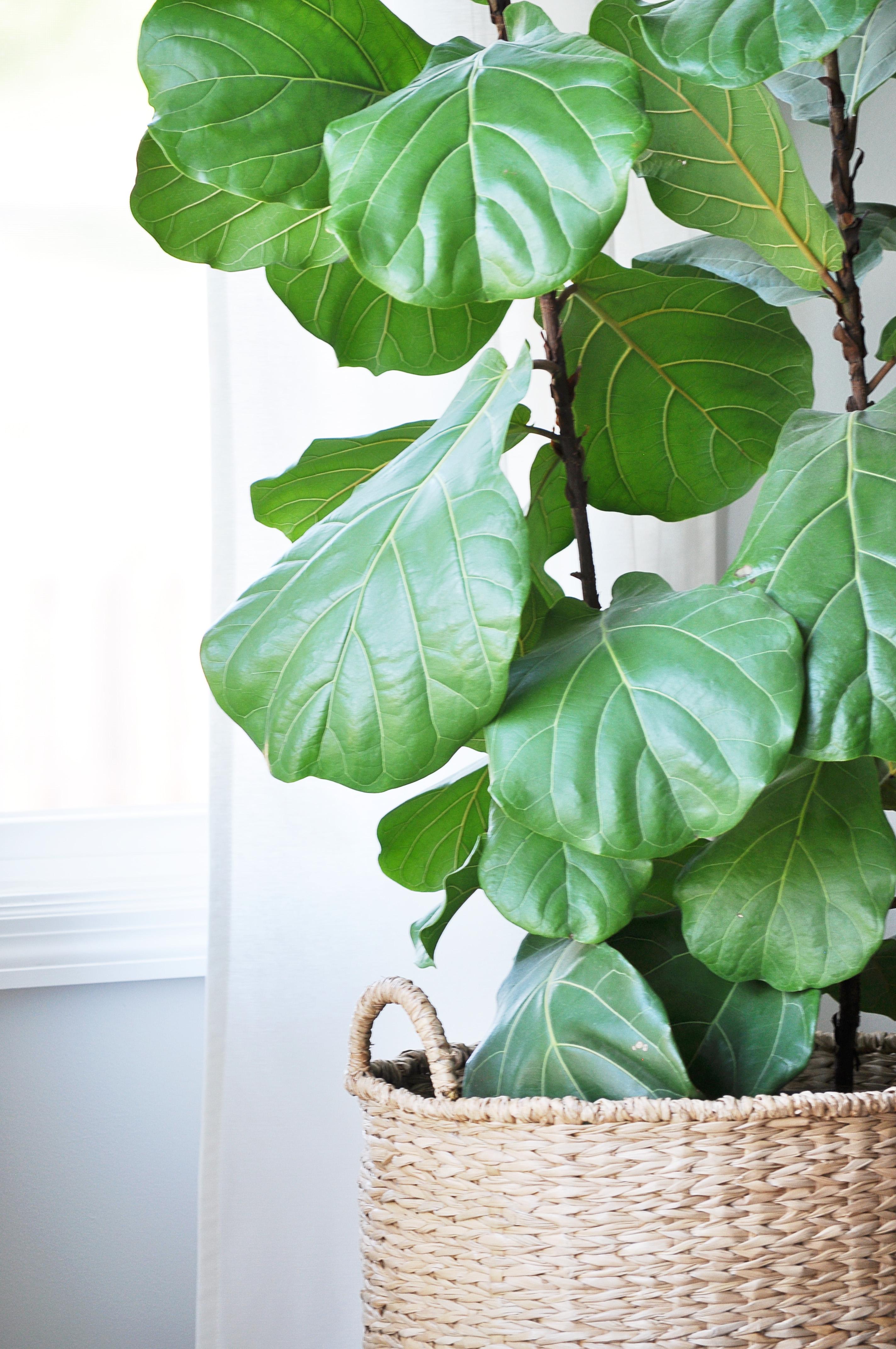 Fiddle Leaf FigTree